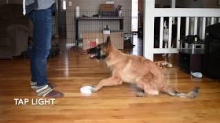 Helo the Belgian Tervuren Advanced Trick Dog Demo