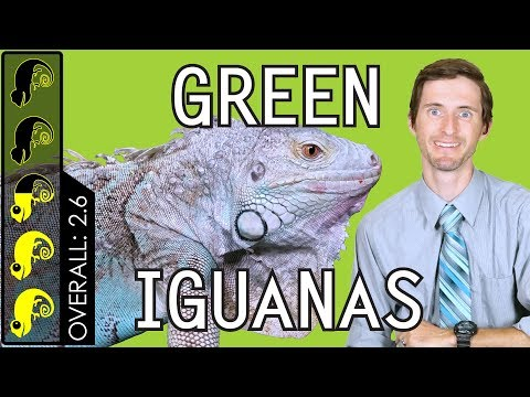 Green Iguana, The Best Pet Lizard?