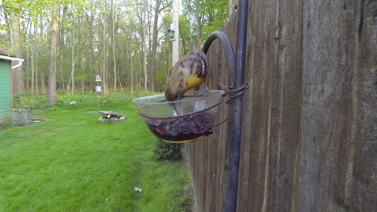 baltimore orioles eating grape jelly in our backyard birdlady