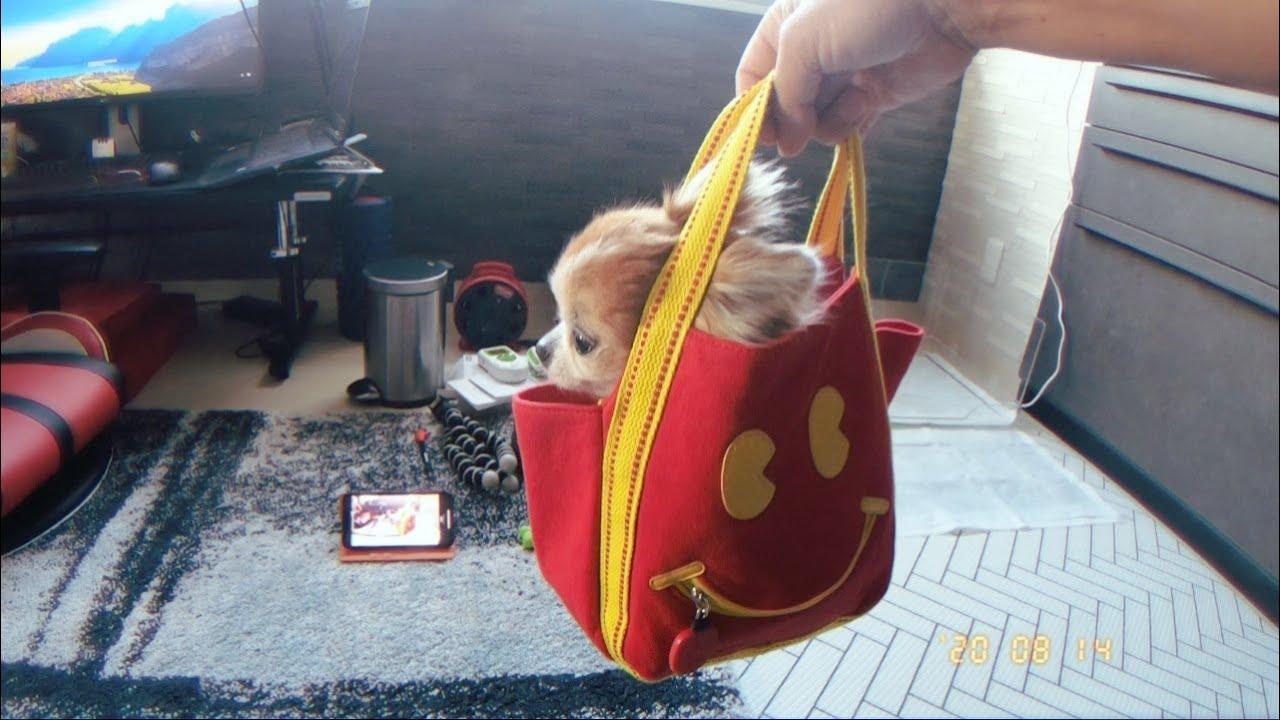 600円で買った犬用マイバッグがジャストサイズすぎるチワワw