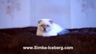 Скоттиш-фолд блю поинт кошка  Cruel Morgana of Simba Iceberg (SFS a 33)