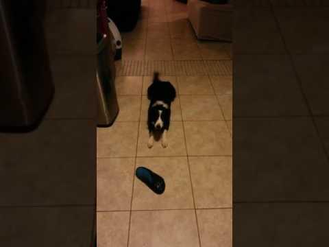este perro fue entrenado para atacar a la suegra