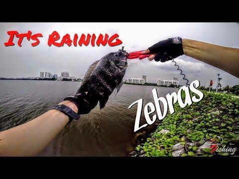It's Raining Zebra Tilapias! Fishing in Singapore