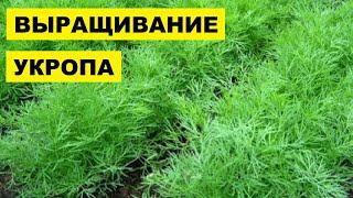 Выращивание Укропа в открытом грунте как бизнес идея