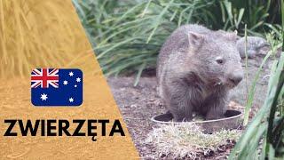 Zwierzęta w Australii oraz jak pobiera się jad pająka?