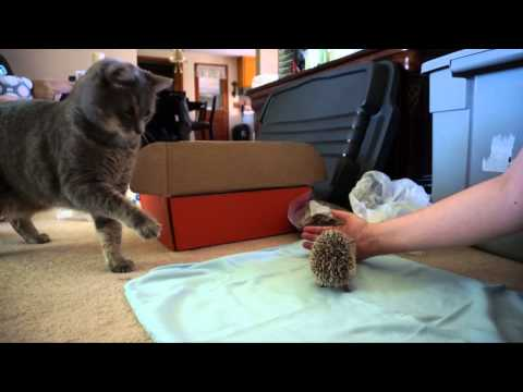 Cat Meets Hedgehog
