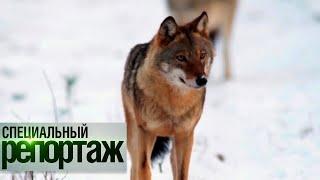 Во власти серых хищников