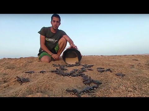 Sea Turtle Hatchlings Released into the Ocean 360 | Our Blue Planet | Earth Unplugged