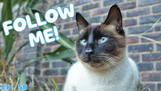 What a Siamese cat does in a day
