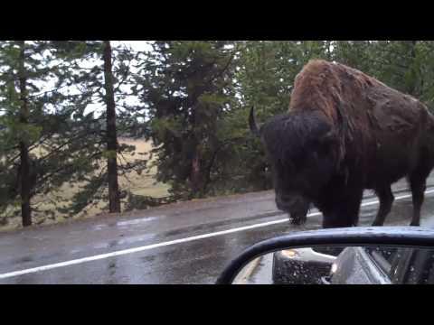 Wildlife of Yellowstone June 2010