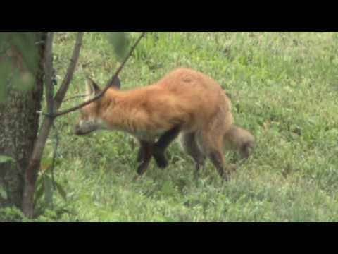 Pennsylvania Nature: Red Fox On The Hunt