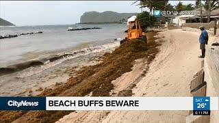 Masses of seaweed washing up on Caribbean beaches