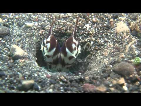 Lembeh Muck Diving 2011