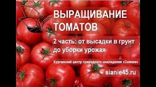 Выращивание томатов( 2 часть). От высадки до сбора урожая #томаты
