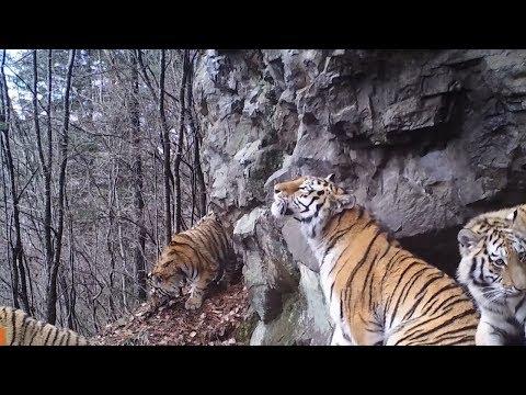 Тропой уссурийского тигра