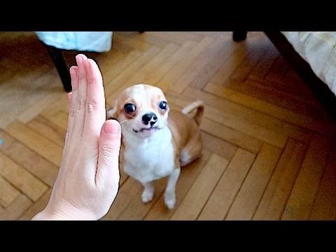 ЧИХУАХУА - ТОП 10 ИНТЕРЕСНЫХ ФАКТОВ | ПОРОДЫ СОБАК | Elli Di Собакииз YouTube · Длительность: 7 мин12 с  · Просмотры: более 334000 · отправлено: 29.07.2016 · кем отправлено: Elli Di Pets