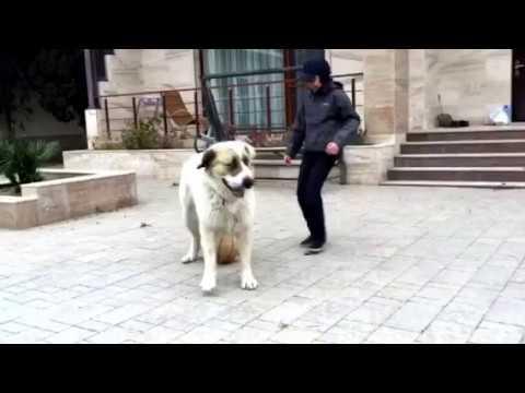 Алабай гоняет в футбол. / Big dog playing football.