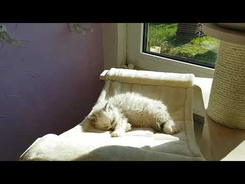 Cattery from Sham, Selkirk Rex Kitten