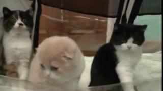 Породистые котята  Выставка   продажа