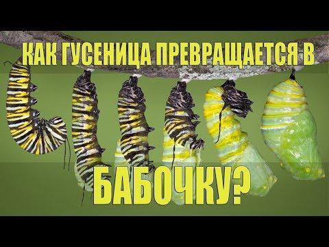 Как ГУСЕНИЦА превращается в БАБОЧКУ? | Перевод DeeAFilm