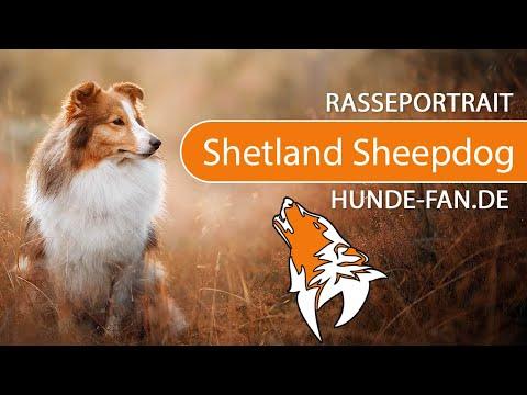 Shetland Sheepdog - Sheltie [2019] Rasse, Aussehen & Charakter