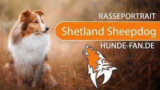 Shetland Sheepdog  Sheltie [2019] Rasse, Aussehen & Charakter