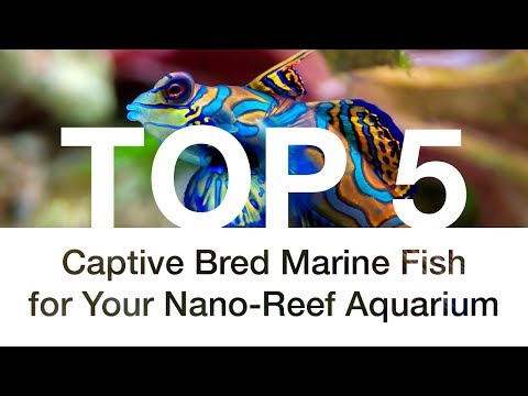 Top 5 Captive Bred Marine Fish for Your Nano-Reef Aquarium