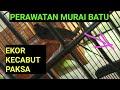 Merawat Burung Murai Batu Yang Ekor Nya Kecabut Paksa Tidak Sengaja Ekor Burung Kecabut  Mp3 - Mp4 Download