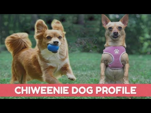 Chiweenie - Popular Cross Breed Of Chihuahua And Dachshund