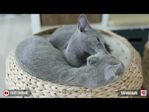CAT VLOG #10 SMART RUSSIAN BLUE CAT || IG: XAFIANDAURI || CATS OF INSTAGRAM