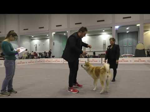Akita Females CACIB Padova 12/01/2019