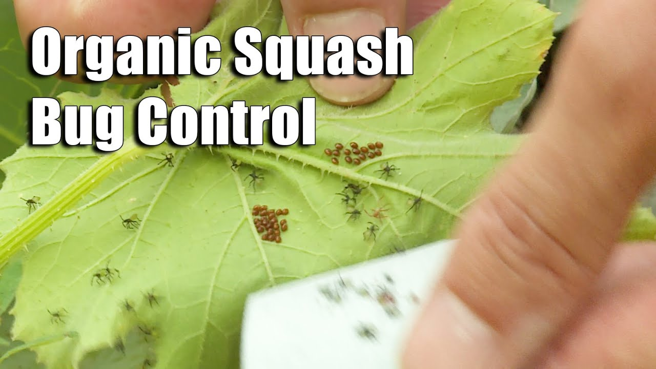 Organic Control of Squash Bugs – This Week in the Garden