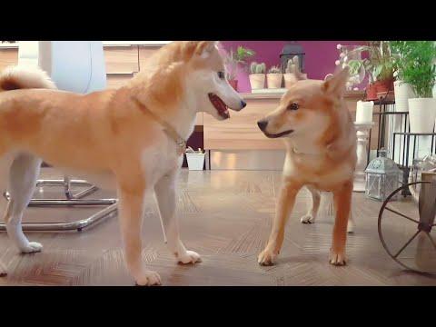 Suki meets teenager Dango / Shiba Inu puppies