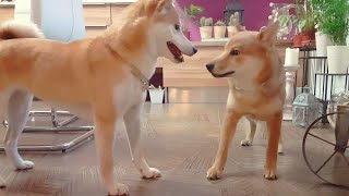 suki-meets-teenager-dango-shiba-inu-puppies