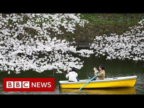The blossom worth billions for Japan - BBC News