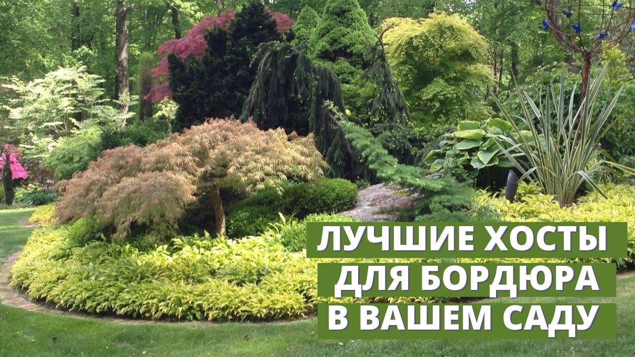 Бордюрные хосты. Какие хосты лучше всего подходят для бордюра в саду. Часть 1