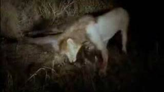 Male Lion Kills Buffalo Bull