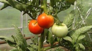 Выращивание овощных, ягодных и других культур в хозяйстве Казацкого Д.Г.