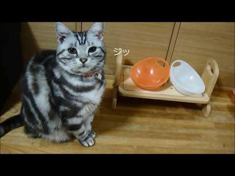 「ご飯まだ?お椀コンコン!」 愛猫のおねだり動画 2