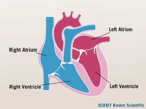 heart chambers - youtube, Sphenoid