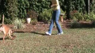 Ridgeback Puppy Training