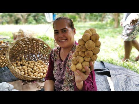 Camiguin Lanzones Harvest Season - Ponciano Farms Sagay Camiguin