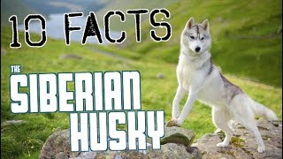 10 Facts You NEED To Know Before Buying A Husky!