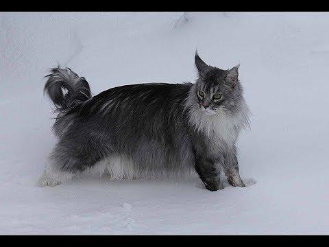 "Maine Coon cat Felix. ""Snowcat"""