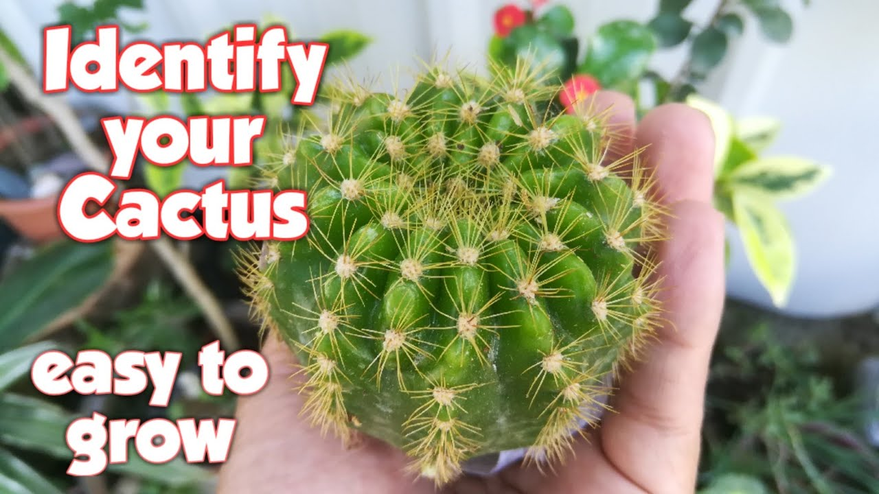 Cactus Names And Pictures Cactus Identification Cactus For Beginners Cactus Care Youtube