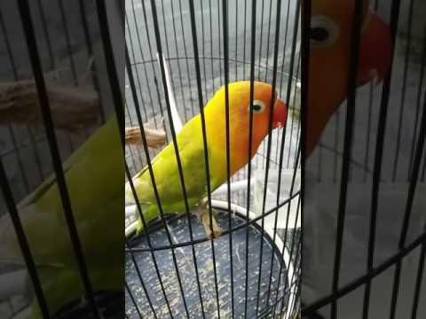 """LOVEBIRD """"NOMINASI"""""""