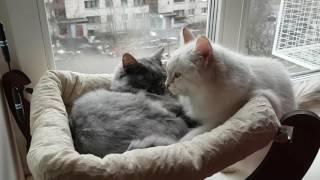 Это любовь.Сибирский кот и Невская маскарадная кошка.