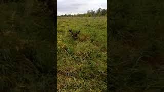 Отдых в Подмосковье Охота на фазана