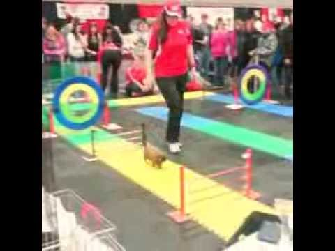 obstacle course rabbits youtube