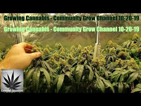 Growing Cannabis - Community Grow Channel 10-20-19